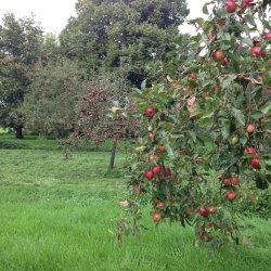 Appels voor de appelsap