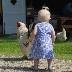 Kippen-in-de-tuin