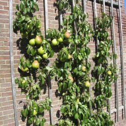 Sterkenburg-leifruit-tegen-de-muur