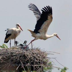 Ooievaars op het nest naast het kasteel